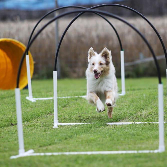 Chien border qui passe entre des hoops sur l'herbe